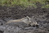 Warthog (Phacochoerus Aethiopicus) Mud Bathing, Ngorongoro Crater, Tanzania,East Africa, Africa Lámina fotográfica por James Hager