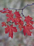 Red Leaves on a Big Tooth Maple Branch in the Fall Reproduction photographique par James Hager