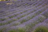 Lavender Fields, Provence, France, Europe Impressão fotográfica por Angelo Cavalli