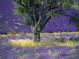 Lavender Field, Vaucluse, Sault, Provence-Alpes-Cote D'Azur, France Photographic Print by Bruno Morandi
