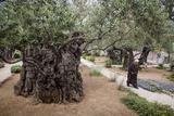 Olive Trees in the Garden of Gethsemane, Jerusalem, Israel, Middle East Fotografie-Druck von Yadid Levy