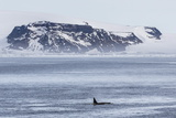 A Pod of Big Type B Killer Whales (Orcinus Orca) in Antarctic Sound Photographic Print by Michael Nolan