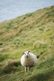 Sheep, Heimaey Island, Vestmannaeyjar, Volcanic Westman Islands, Iceland, Polar Regions Photographic Print by Christian Kober