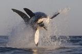 Great White Shark (Carcharodon Carcharias) Trykk på strukket lerret av David Jenkins