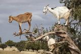 Goats Up Argan Tree, Near Essaouira, Morocco, North Africa, Africa Lámina fotográfica por Stuart Black