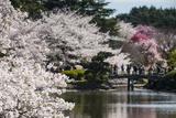 Cherry Blossom in the Shinjuku-Gyoen Park, Tokyo, Japan, Asia Fotografie-Druck von Michael Runkel