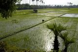 Paddy Fields, Tamil Nadu, India, Asia Photographic Print by Balan Madhavan