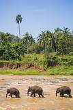 Three Elephants in the Maha Oya River at Pinnawala Elephant Orphanage Near Kegalle Photographic Print by Matthew Williams-Ellis
