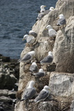 Kittiwakes Nesting on Cliff Ledges Reproduction photographique par James Emmerson