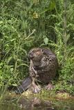 Eurasian Beaver (Castor Fiber), Captive in Breeding Programme, United Kingdom, Europe Lámina fotográfica por Ann and Steve Toon