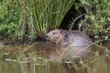 Eurasian Beaver (Castor Fiber), Captive in Breeding Programme, United Kingdom, Europe Fotografisk tryk af Ann and Steve Toon