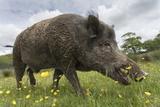 Wild Boar (Sus Scrofa), Captive, United Kingdom, Europe Lámina fotográfica por Ann and Steve Toon