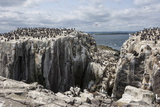 Guillemots, Kittiwakes and Shags on the Cliffs of Staple Island, Farne Islands Reproduction photographique par James Emmerson