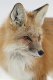 Red Fox (Vulpes Vulpes) in the Snow Photographic Print by James Hager