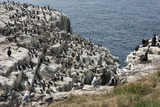 Guillemots, Kittiwakes, Shags and a Puffin on the Cliffs of Inner Farne Reproduction photographique par James Emmerson