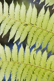 Ferns Photographic Print by Robert Harding
