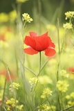 Single Poppy in a Field of Wildflowers, Val D'Orcia, Province Siena, Tuscany, Italy, Europe Fotografisk tryk af Markus Lange