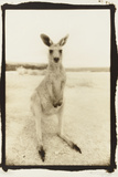 Cute Roo, Australia Reproduction photographique par Theo Westenberger