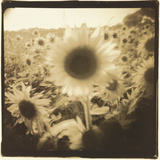 Sunflowers, Spain Reproduction photographique par Theo Westenberger