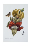 Banana Blossom Illustration from the Little Book of Wonders of the Tropics Lámina giclée