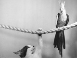 Parrot Perched on Rope, Cat Below Stampa fotografica