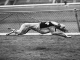 Racing Greyhound Wild Wolf Photographic Print