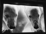 Young Polar Bears at Pool Window Photographic Print