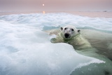 Polar Bear, Hudson Bay, Canada Photographic Print