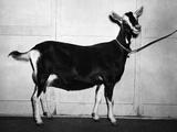 British Alpine Goat Impressão fotográfica