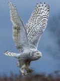 Bird of Prey Fotografie-Druck von Art Wolfe