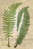Fern Folio III Poster von  Vision Studio