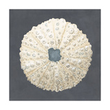 Shell on Slate VII Prints by Megan Meagher