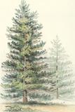 Majestic Pine I Prints