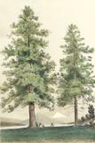 Majestic Pine II Posters