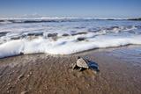 Hatchling Sea Turtle Heads to the Ocean Fotografisk tryk af Paul Souders