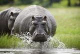 Hippopotamus in Chobe National Park Fotografisk tryk af Paul Souders