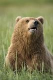 Grizzly Bear Resting in Meadow at Hallo Bay Fotografisk trykk av Paul Souders