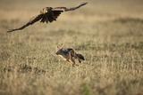 Blackbacked Jackal Chasing Tawny Eagle Near Wildebeest Kill Lámina fotográfica por Paul Souders