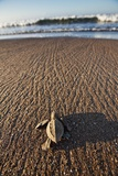 Hatchling Sea Turtle Heads to the Ocean Fotografisk tryk af Paul Souders