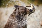 Brown Bear Catching Spawning Salmon from Stream at Kinak Bay Fotografisk trykk av Paul Souders