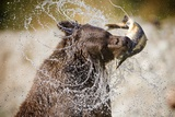 Brown Bear Catching Spawning Salmon from Stream at Kinak Bay Lámina fotográfica por Paul Souders