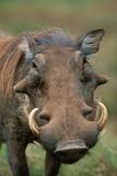 Male Warthog Lámina fotográfica por Paul Souders