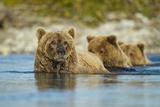 Brown Bear and Cubs, Katmai National Park, Alaska Lámina fotográfica por Paul Souders