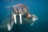 Walrus Swimming Underwater Near Tiholmane Island Lámina fotográfica por Paul Souders