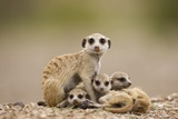 Meerkat with Pups Photographic Print by Paul Souders
