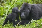 Baby Gorilla Kisses Silverback Male Lámina fotográfica