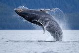 Ballena jorobada rompiendo las aguas, Alaska Lámina fotográfica por Paul Souders
