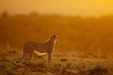 Cheetah on Savanna at Sunrise Lámina fotográfica por Paul Souders