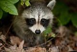 Raccoon at Assateague Island National Seashore in Maryland Lámina fotográfica por Paul Souders