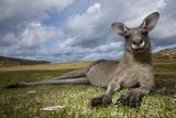 Eastern Gray Kangaroo in Murramarang National Park Fotografisk tryk af Paul Souders